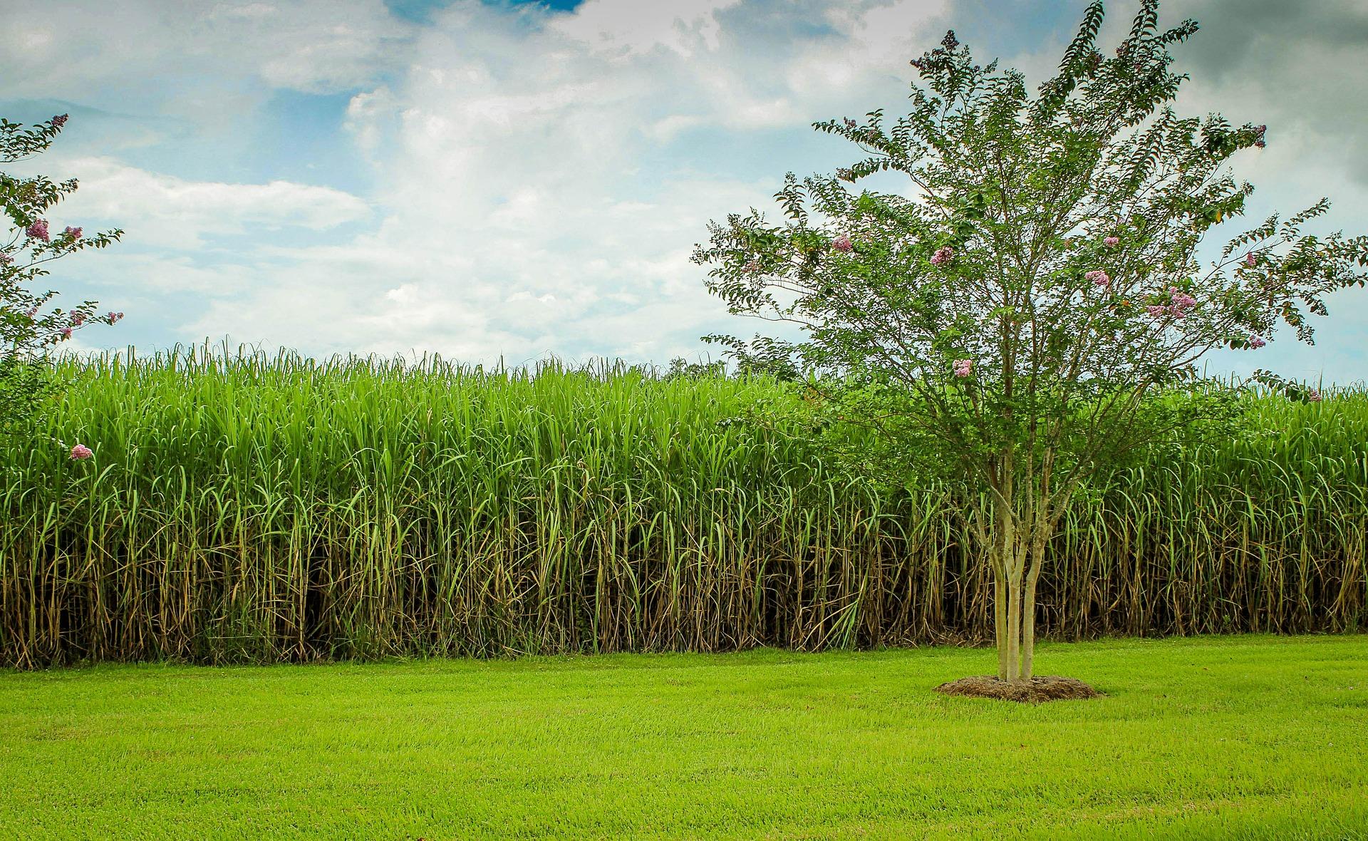 история на захарта - захарна тръстика